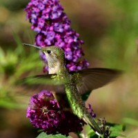 Cheyenne Cañon Hummingbird Experience presented by Friends of Cheyenne Cañon at Starsmore Discovery Center, Colorado Springs CO