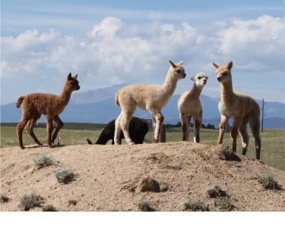 Wild Hair Alpacas located in Colorado Springs CO