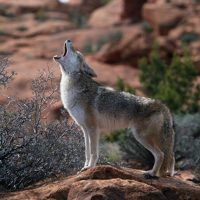 primary-2---s---3---s-Outdoors--Curious-Coyotes-1486068264