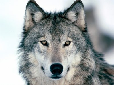 primary-Nature-Adventures--Wild-About-Wolves-1486068137