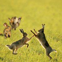 primary-2---s---3---s-Outdoors--Rambunctious-Rabbits-1488901757