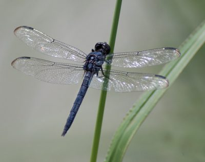 Little Wonders: Darling Dragonflies