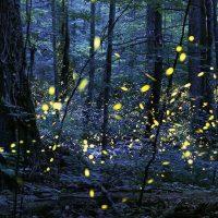 Firefly Celebration & Night Hike