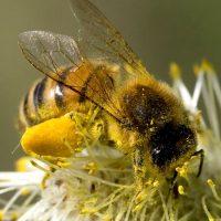 National Honeybee Day Celebration