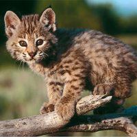 Nature Adventures: Wild Cats