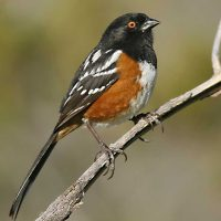 Bear Creek Nature Explorers: Terrific Towhees