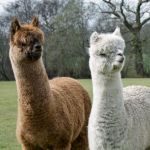 Alpaca Experience presented by Gallery 132 at ,