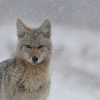 'Coyote America: A Natural and Supernatural History' by Dan Flores presented by Colorado College at Colorado College - Edith Kinney Gaylord Cornerstone Arts Center Film Screening Room, Colorado Springs CO