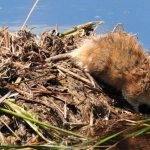 Nature Adventures: Mysterious Muskrats