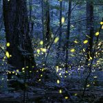 Firefly Celebration & Night Hike