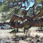 Amazing Culturally Modified Trees of the Pikes Peak Region