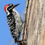 Nature Adventures: Woody Woodpeckers