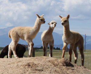Holiday Alpaca Extravaganza
