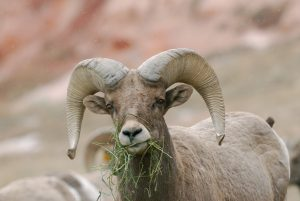 Bighorn Sheep Day presented by VisitCOS at Garden of the Gods Visitor and Nature Center, Colorado Springs CO