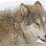Earth Day at The Colorado Wolf and Wildlife Center