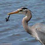 Nature Adventures: Heron Homecoming