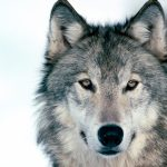 The Wolf: An Animal to be Respected, Not Feared