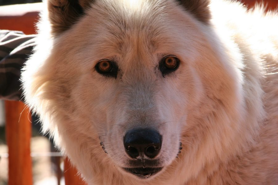 March Wolf Madness presented by Colorado Wolf & Wildlife Center at Colorado Wolf & Wildlife Center, Divide CO