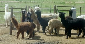 National Alpaca Farm Days presented by Wild Hair Alpacas at ,